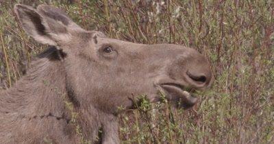 4K Moose eating willows Close Up - SLOG2 NO Colour Correction