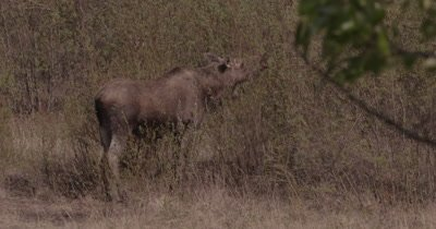4K Moose eating willows Close Up, zoom out, zoom in - SLOG2 NO Colour Correction
