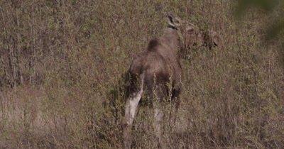 4K Moose eating willows, Slow Motion - SLOG2 NO Colour Correction