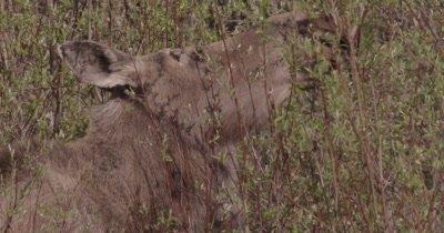 4K Moose eating willows, Slow Motion, Close Up - SLOG2 NO Colour Correction