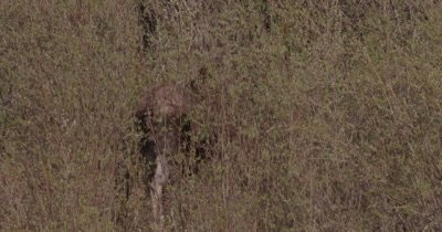 4K Moose eating willows - SLOG2 NO Colour Correction