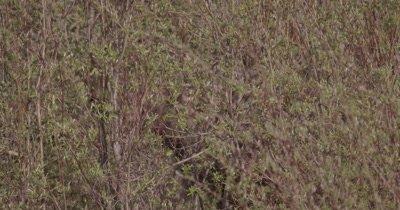 4K Moose eating willows, Tight Shot - SLOG2 NO Colour Correction