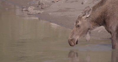 4K Moose zoom in from extreme wide to close up drinking water in river - SLOG2 NO Colour Correction