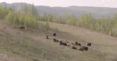 4K Wood Bison Herd resting on grassy hillside - SLOG2 NOT Colour Corrected