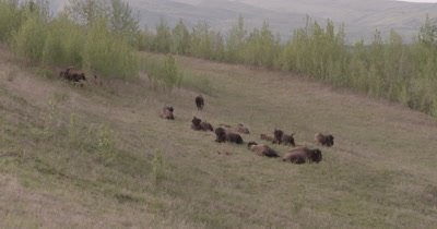 4K Wood Bison Herd resting on grassy hillside, Zoom in - SLOG2 NOT Colour Corrected