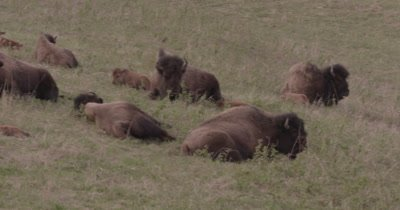 4K Wood Bison Herd resting on grassy hillside, pan to one eating willow - SLOG2 NOT Colour Corrected