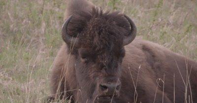 4K Wood Bison Herd eating on grassy hillside, pan to calf lying down - SLOG2 NOT Colour Corrected