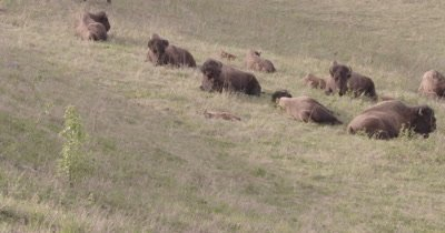 4K Wood Bison calf sleeping in grass zoom out to Herd - SLOG2 NOT Colour Corrected
