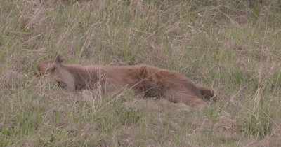 4K Wood Bison calf sleeping in grass, zoom in - SLOG2 NOT Colour Corrected