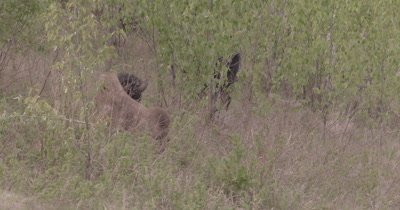 4K Wood Bison lying in grass amongst willows - SLOG2 NOT Colour Corrected