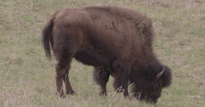 4K Wood Bison grazing on grass, Tight Shot - SLOG2 NOT Colour Corrected
