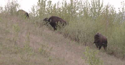 4K Wood Bison three grazing on grassy hill side - SLOG2 NOT Colour Corrected