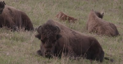 4K Wood Bison lying/sleeping on grassy hill side, Slow Motion - SLOG2 NOT Colour Corrected