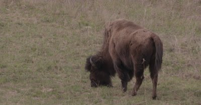 4K Wood Bison chewing/eating grass, Slow Motion - SLOG2 NOT Colour Corrected