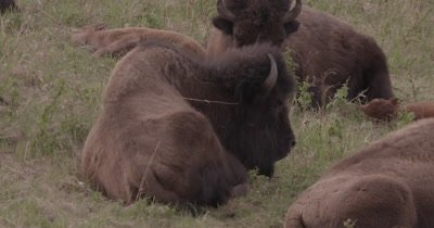 4K Wood Bison resting in grass, Slow Motion - SLOG2 NOT Colour Corrected