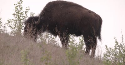 4K Wood Bison grazing on grass hillside, covered in flies, Rack Focus, Slow Motion - SLOG2 NOT Colour Corrected