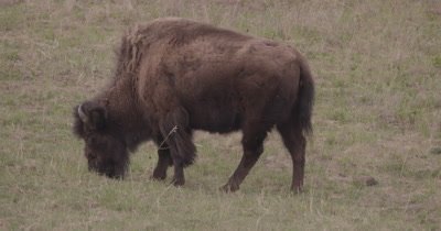 4K Wood Bison grazing on grass, Slow Motion - SLOG2 NOT Colour Corrected