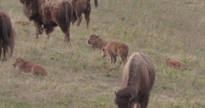 4K Wood Bison baby calves Lying and grazing on grass - SLOG2 NOT Colour Corrected