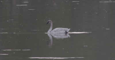 4K Trumpeter swan swimming in lake and grooming - SLOG2 NOT Colour Corrected