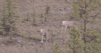 4K Caribou Male/Buck walking along hillside grazing, Pan, Zoom - SLOG2 NOT Colour Corrected