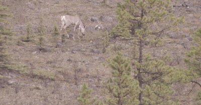 4K Caribou Male/Buck walking along hillside grazing, Pan, Zoom - SLOG2