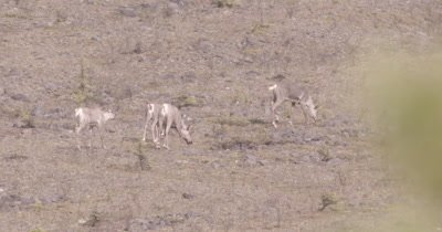 4K Caribou grazing along hillside, Zoom extreme wide - SLOG2 NOT Colour Corrected