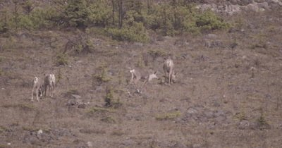 4K Caribou grazing along hillside, Zoom extreme wide, Exist Frame - SLOG2 NOT Colour Corrected