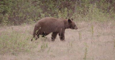 4K Brown Bear grazing on grass - SLOG2 NO Colour Correction