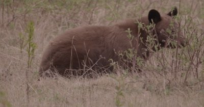 4K Brown Bear grazing on grass, Zoom in - SLOG2 NO Colour Correction