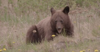 4K Brown Bear grazing on grass, Long Lens, Slow Motion - SLOG2 NO Colour Correction