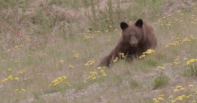 4K Brown Bear grazing on grass, Wide shot, Zoom in - SLOG2 NO Colour Correction