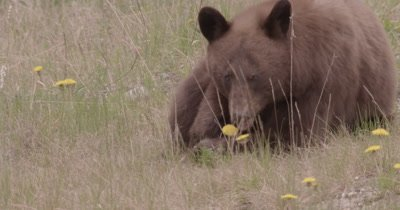 4K Brown Bear grazing on grass, Zoom in, Follow, Long Lens - SLOG2 NO Colour Correction