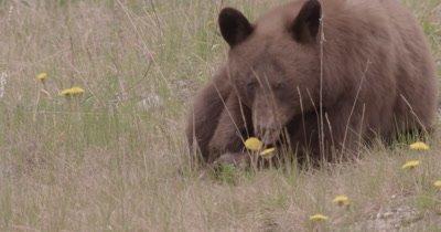 4K Brown Bear grazing on grass, Zoom in, Follow, Long Lens - SLOG2 NO Colour Correction