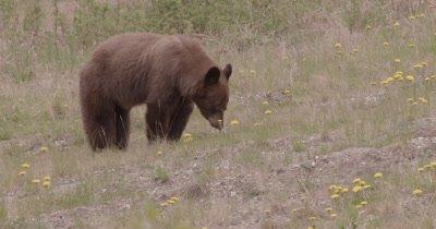 4K Brown Bear grazing on grass, pan - SLOG2 NO Colour Correction