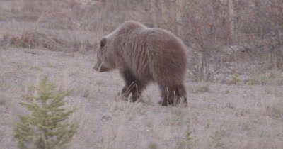 4K Grizzly Bear young female walking away thru grass and sand area - SLOG2 NOT Colour Corrected