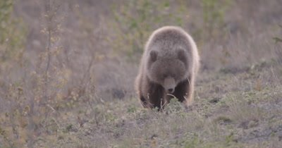 4K Grizzly Bear young female walking towards camera, Rack Focus - SLOG2 NOT Colour Corrected