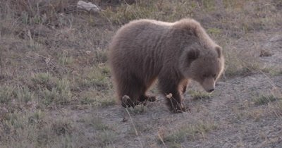 4K Grizzly Bear young female walking and eating, Close up, Rack Focus, Slow Motion - SLOG2 NOT Colour Corrected