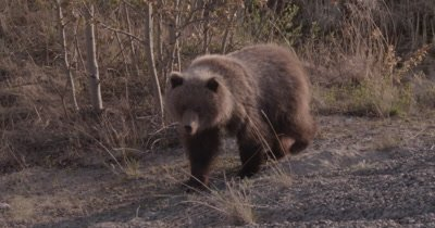 4K Grizzly Bear CHARGES, young female eating grass near sunset - SLOG2 NOT Colour Corrected