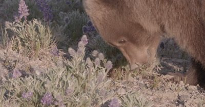4K Grizzly Bear, young female eating grass near sunset, Zoom in, Close Up - SLOG2 NOT Colour Corrected