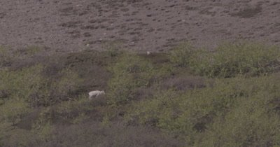 4K Dall Sheep grazing in brush on mountain side, heat waves, extreme long lens - SLOG2