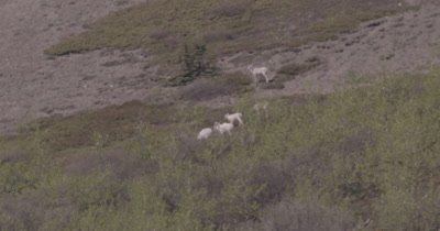 4K Dall Sheep herd grazing in brush on mountain side, heat waves, extreme long lens - SLOG2