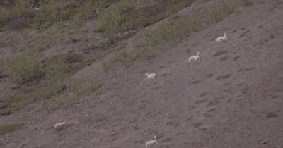 4K Dall Sheep herd resting on mountain side, heat waves, extreme long lens - SLOG2