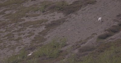 4K Dall Sheep one resting, one grazing on mountain side, heat waves, extreme long lens - SLOG2