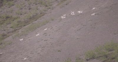 4K Dall Sheep herd resting on mountain side, heat waves  - SLOG2