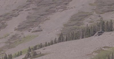 4K Dall Sheep herd resting on mountain side, heat waves, Wide Shot - SLOG2