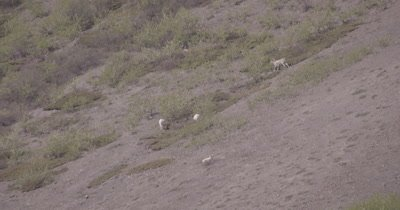 4K Dall Sheep herd resting on mountain side, heat waves, Tighter Shot - SLOG2