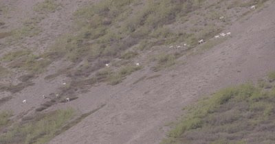 4K Dall Sheep grazing/crossing on mountain side, Wide Shot - SLOG2