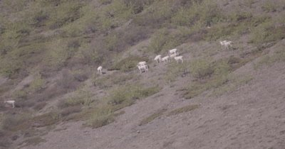 4K Dall Sheep grazing/crossing on mountain side, Zoom out extreme wide - SLOG2