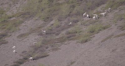 4K Dall Sheep grazing/crossing on mountain side - SLOG2