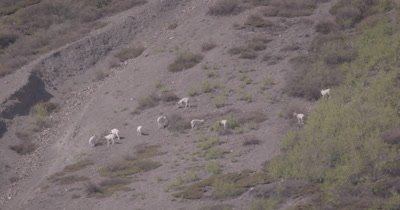 4K Dall Sheep grazing on mountain side, Tighter Shot - SLOG2